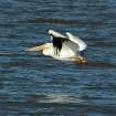 Pelican in Flight at Lake Overholser  Community Photo By:  Michael Gross  Submitted By:  Michael, Oklahoma City