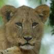 Lion Cub at the Oklahoma City Zoo  Community Photo By:  Michael Gross  Submitted By:  Michael, Oklahoma City