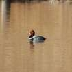 Redhead Duck Wintering in Oklahoma  Community Photo By:  Michael Gross  Submitted By:  Michael, Oklahoma City