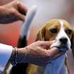 Marcelo Chagas handles Lola, a beagle, who won Best of Group,  during the during the OKC Summer Classic Dog Show at the Cox Convention Center in Oklahoma City Sunday, June 28, 2009. Photo by John Clanton, The Oklahoman ORG XMIT: KOD