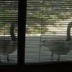 "I office in the Belle Isle area, where there was once a small lake.  These ducks used to come by my office window, and peck on the glass as if to ask, ""What happened to our water.""  Pretty strong DNA wouldn't you say?  Community Photo By:  Gina Jordan Kishur  Submitted By:  Gina Jordan, Oklahoma City"