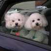 """Sugar and Jolie, sister Bichons, love to ride in the car!  When we say """"Car"""" they get SO excited!  Community Photo By:  Carolyn A. Crawford  Submitted By:  Carolyn, Oklahoma City"""