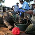 South African rhino endures, 1 year after...