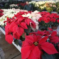Photo - Lynn Nichols, grounds manager for Oklahoma State University-Oklahoma City Horticulture Department, walks among the rows of poinsettias that were recently on display during the department's annual sale in late November. AP PHOTO  Sue Ogrocki