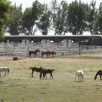 Photo - Horses graze Friday at Zule Farms, a Lexington ranch whose owners are accused of ties to a Mexican drug cartel. The horses are costing the federal government to feed care for, but officials say there are just too many. The crowding has lead to many injuries and illnesses. Photo by Steve Sisney, The Oklahoman  STEVE SISNEY