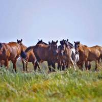 Photo - Wild horses owned by the U.S. Bureau of Land Management live out their lives on John Hughes' land in Catoosa.  CHRIS LANDSBERGER