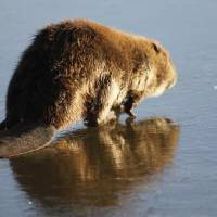 Photo - A beaver walks on the ice at Arcadia Lake today. Photo by David McDaniel