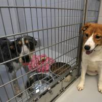 Photo - Bandit (left) and Basha hang out at the Steven J. Bentley Homeward Bound Facility in Oklahoma City, Friday, June 29, 2012. The two are among 30 seized at a suspected puppy mill in March. Photo by Garett Fisbeck, The Oklahoman  Garett Fisbeck - Garett Fisbeck