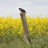Photo - A Red-winged Blackbird is shown on a fence post near a winter canola field near Lamont in north central Oklahoma.   David McDaniel - The Oklahoman