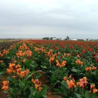 Oklahoma family\'s farm helps color bloom across the world