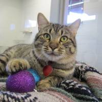 Photo - Jones is a friendly cat who would like to help you decorate your Christmas tree. He enjoys opening presents, too. Jones is a 2-year-old short-haired tabby. His Oklahoma City Animal Shelter number is 128236, and his adoption fee is $25. This includes spay or neuter, shots and health check. The shelter is at 2811 SE 29. For more information, go online to www.okc.petfinder.com or www.okc.gov. PHOTO PROVIDED BY OKLAHOMA CITY ANIMAL SHELTER
