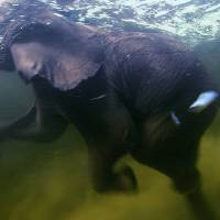 Photo - In this film publicity image released by Disney/BBC Worldwide Ltd., an elephant swims in the Okavago delta in Botswana in a scene from the nature film,