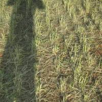 Photo - Hail damaged wheat near Banner. Several late spring freezes have left the state's wheat crops vulnerable to hail damage.   - PROVIDED BY THE OKLAHOMA WHEAT C