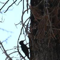 Photo -   FILE - In this July 6, 2010 file photo, a rare black-backed woodpecker is seen in the burned remains of the Angora Fire near South Lake Tahoe, Calif. Conservationists are seeking Endangered Species Act protection for the rare woodpecker that feeds on beetles in burned forests. Four groups filed the listing petition Wednesday, May 2, 2012, for the black-backed woodpecker in the Black Hills, the Sierra Nevada and Eastern Cascades of Oregon. (AP Photo/Rich Pedroncelli, File)