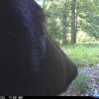 Photo - The face of this black bear was photographed on a camera north of Tahlequah  GARY HARDESTY - PHOTO PROVIDED