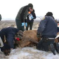 Photo -   This Jan. 2012 photo provided by the Montana Fish, Wildlife and Parks department shows agency workers testing a captured elk for the animal disease brucellosis south of Bannack, Mont. State wildlife officials are considering a plan to curb the disease around Yellowstone National Park by reducing the size of some elk herds, hazing them away from livestock and building elk-proof fences. (AP Photo/Montana Fish, Wildlife and Parks)