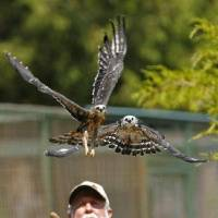 Photo - Tom Sanders and Kristy Wicker (out of view at left) release recovered Mississippi Kites at WildCare on Thursday, August 25, 2011, in Noble, Okla.   Photo by Steve Sisney, The Oklahoman ORG XMIT: KOD
