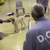 Photo - In this Dec. 18, 2012 photo, Nero, a veteran assistance dog in training, takes a ball from inmate James Harrison during a training session at Western Correctional Institution in Cresaptown, Md. Nero is one of three dogs assigned since September to inmates at the maximum-security prison for basic training as service dogs for disabled military veterans. The inmates, who are also veterans, are among the state's first prisoners to join a national trend of training service dogs in correctional institutions. Professional trainers say prison-raised dogs tend to graduate sooner and at higher rates than those raised traditionally in foster homes because puppies respond well to the consistency and rigid schedules of prison life. (AP Photo/Patrick Semansky)