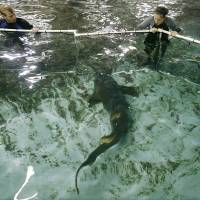 Photo - Justin Lovelace, left, and Penny Regier block a shark with a net device as they work to move sharks into their new display at the Oklahoma Aquarium Wednesday, Oct. 29, 2008 In Jenks, Ok. (AP Photo/ Tulsa World, Mike Simons) ORG XMIT: OKTUL102