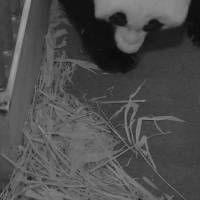 Photo - This handout photo provided by the Smithsonian's National Zoo, taken Aug. 29, 2013, shows teh zoo's Panda mother Mei Xiang with her cub at the zoo in Washington. The zoo said Thursday its 2-week-old giant panda cub is female. The Washington zoo also revealed Thursday that the cub's father is National Zoo panda Tian Tian. (AP Photo/Smithsonian's National Zoo)