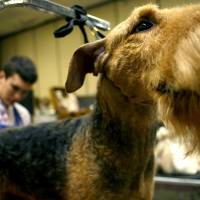 Photo - OKC SUMMER CLASSIC DOG SHOW: Bo, an Airedale terrier, is brushed by dog grooming assistant Wille Dede, 18, during the Oklahoma City Dog Show at the Cox Convention Center in Oklahoma City Thursday, June 25, 2009.  Photo by Ashley McKee, The Oklahoman   ORG XMIT: KOD