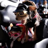 Photo -   Chihuahas Duke, right, and Daisy, prepare to ride aboard their owner's Harley-Davidson motorcycle to start the annual Veterans Day Parade through downtown Atlanta, Saturday, Nov. 10, 2012. (AP Photo/David Tulis)