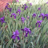 Photo -  A micro-climate caused by a south facing brick home creates early blooming iris. - PHOTO BY MARY PHILLIPS, THE OKLAHOMAN