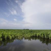 Photo -  Corn plants sit in a flooded field farm field Monday near Dallas Center, Iowa. The U.S. Department of Agriculture, in a report released Monday, says farmers are planting the smallest corn crop since 2010 but as expected have planted the largest soybean crop on record. AP Photo   Charlie Neibergall -