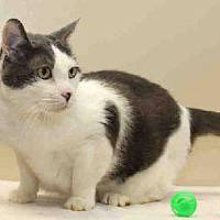 Photo - Hefty is a handsome older cat who enjoys lying on your lap and being petted, and occasionally he will get a burst of energy to play with toys. Hefty is declawed on all four paws so he will need to be an indoor cat. He is at the Edmond Animal Welfare Shelter.