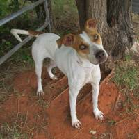 Photo - Pumpkin, a 1-year-old pit bull terrier, is housebroken, loves dogs and kids, and enjoys playing hide and seek. She must go to a home with stockade fencing. Her Oklahoma City Animal Shelter number is 122120, and her adoption fee is $25. The shelter is at 2811 SE 29. For more information, go to www.okc.petfinder. com or www.okc.gov.