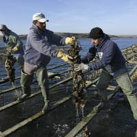 Photo - File - In this Dec. 6, 2011 file photo, workers harvest Pacific oysters at the Drake's Bay Oyster Co. in Point Reyes National Seashore, Calif. The Supreme Court has refused to hear an appeal from a popular oyster farm in Northern California that is facing closure. The justices did not comment Monday, June 30, 2014, in leaving in place lower court rulings against Drakes Bay Oyster Co. (AP Photo/Eric Risberg, File)