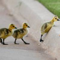 Photo -  A trio of baby geese try to hop over a curb on the OPUBCO properties in Oklahoma Cit., Thursday, May 17, 2012. Photo by Sarah Phipps, The Oklahoman