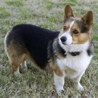 Photo - A Welsh Corgi dog named Squiggy was shot and killed Dec. 28. The owners are offering a $200 reward for information about the person responsible for the shooting. PHOTO PROVIDED SONJA MALASKE. ORG XMIT: KOD