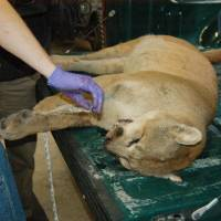 Photo - Authorities examine a male mountain lion that was hit by a vehicle and killed near Minco at the Lake Arcadia Conservation Center Wednesday, Nov. 2, 2011. Provided. ORG XMIT: KOD