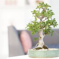 Photo - Close up of bonsai tree in living room
