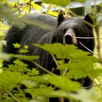 Photo - **FILE** A black bear wanders around Juneau, Alaska, in this undated file photo. A ballot measure to outlaw bear baiting will be on the Nov. 2 election ballot. Both sides in the debate over the measure are accusing each other of allowing outside forces to come in and determine what is good for Alaska. Bear baiting, putting out food as a lure, usually something sweet or greasy, is illegal in 41 states. In Alaska, it can be used only to hunt black bears, not grizzlies. (AP Photo/David J. Sheakley) ORG XMIT: AKDS101 ORG XMIT: 0802160101373040