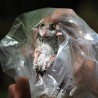 Photo -   This June 18, 2010 photo shows a deer mouse during a biological survey at Follenby Pond near Tupper Lake, N.Y. The hantavirus disease is carried in the feces, urine and saliva of deer mice and other rodents, and carried on airborne particles and dust. Michael Vaughan, a research associate professor in mineral physics at Stony Brook University on Long Island, has since recovered from symptoms of the virus after being bitten by a rodent during a hiking trip in the Adirondacks. (AP Photo/Adirondack Daily Enterprise, Mike Lynch)