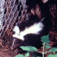Photo - About one third of reported animal rabies is attributed to the wild skunk population. Wild animals account for many of the reported animal cases of rabies. Centers for Disease Control and Prevention photo