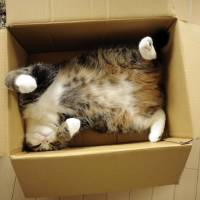 Photo - In this June 2011 photo provided by mugumogu, Scottish fold Maru rests in a cardboard box in Japan. After years of viral YouTube viewing and millions of shares, the cat stars of the Internet are coming into their own in lucrative and altruistic ways. Roly poly Maru, the megastar in Japan with millions of views for nearly 300 videos since 2007, has three books and a calendar, among other swag for sale. (AP Photo/mugumogu)