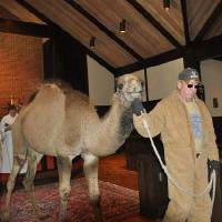 Photo - A camel is led through St. Augustine of Canterbury Episcopal Church, 14700 N May, as part of the church's 2011 Epiphany activities. Photo provided