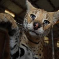 Photo - CATS: An African serval looks at the camera.  PROVIDED BY A1 SAVANNAHS