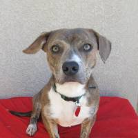 Photo - Buster is a 2-year-old dachsund and pit bull terrier mix. He is short and stocky with lots of personality. His number at the  Oklahoma City Animal Shelter is 122671.  The shelter is at 2811 SE 29.