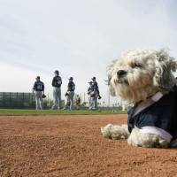 Photo - Hank, a stray dog that the Brewers recently found wandering their practice fields at Maryvale Baseball Park watches spring training on Friday, Feb. 21, 2014, in Phoenix. The team and staff have been taking care of Hank since he was found at the park on President's Day. Hank is named  after Hank Aaron. (AP Photo/The Arizona Republic, Cheryl Evans)  MARICOPA COUNTY OUT; MAGS OUT; NO SALES