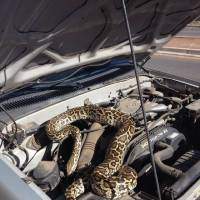 Photo - This image provided by the Santa Fe Police Department shows a 20-pound brown and yellow python that was found on an engine block Thursday July 10, 2014 in Santa Fe, N.M. The animal was taken to a local animal shelter with minor injuries. (AP Photo/Santa Fe Police Department)