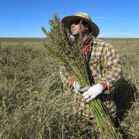 Photo - In this Oct. 5, 2013 file photo, hemp chef Derek Cross helps harvest hemp during the first known harvest of the plant in more than 60 years, in Springfield, Colo. The federal farm bill agreement reached Monday Jan. 27, 2014 reverses decades of prohibition for hemp cultivation. Instead of requiring approval from federal drug authorities to cultivate the plant, the 10 states that have authorized hemp would be allowed to grow it in pilot projects or at colleges and universities for research. (AP Photo/Kristen Wyatt, File)
