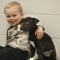 Photo - Bentley Mueller, 2, pets a Labrador puppy during the Furever Love Adoption Event.