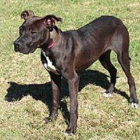 Photo - Keegan is a Labrador/pit mix who has lots of energy and a spunky attitude. He enjoys running in the yard and would do well with a large garden to run around in. Keegan is 10 months old and weighs about 44 pounds. He is at the Edmond Animal Welfare Shelter.