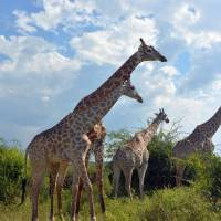 Photo - This March 3, 2013 photo shows giraffes in the Chobe National Park in Botswana. Safaris in this rich game-viewing destination offer up-close views of giraffes and many other animals, including lions, elephants and hippos. (AP Photo/Charmaine Noronha)