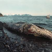 Photo - In this photo taken April 9, 1989 file photo, a local fisherman inspects a dead California gray whale on the northern shore of Latouche Island, Alaska.  The whale was found over the weekend in the oil-contaminated waters of Prince William Sound. Wildlife experts later determined that the whale had died before the Exxon Valdez oil spill occurred on March 24.  Nearly 25 years after the Exxon Valdez oil spill off the coast of Alaska, some damage heals, some effects linger in Prince William Sound. (AP Photo/John Gaps III, File)