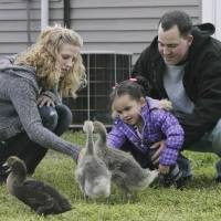 Photo - Dusten Brown, his wife Robin Brown and his daughter Veronica Capobianco, 3, spend time with their pet goslings at their home in Nowata, Okla., taken on April 11, 2013. Brown's ex-girlfriend gave his daughter up for adoption more than three years ago to a white couple in South Carolina, but as a member of the Cherokee Nation, Brown successfully overturned the adoption and won custody of